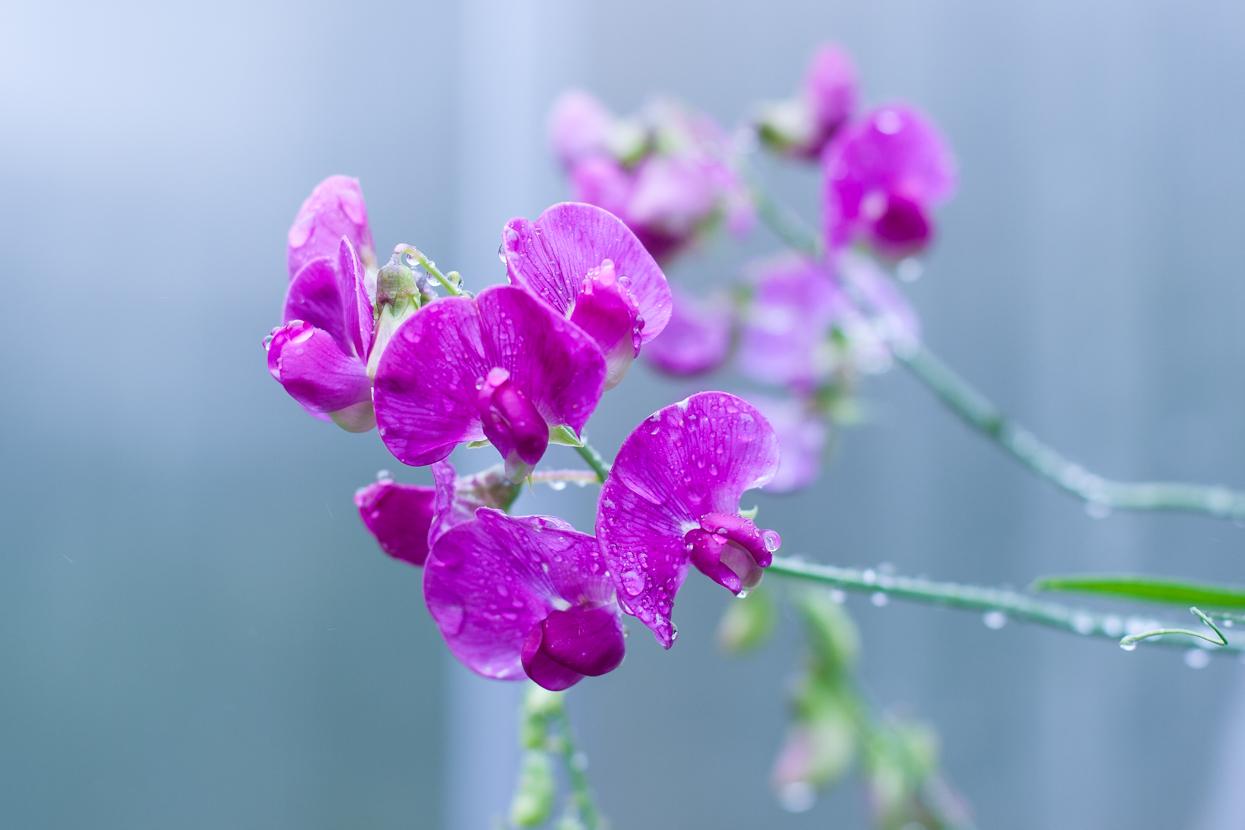 Regenblumen fotografieren zum Sonntag